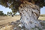 16.- Níjar Olivos Rambla Viruegas.jpg