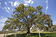 26.- Sorbas eucalipto Ctjo El Hoyo.jpg